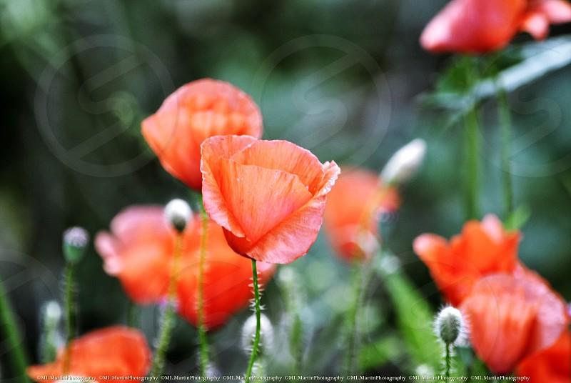 red poppy flowers photo