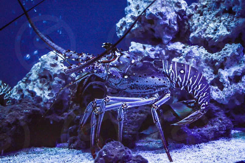 Lobster underwater sea creatures ocean creatures crustacean crab salt water fish water coral reefs photo