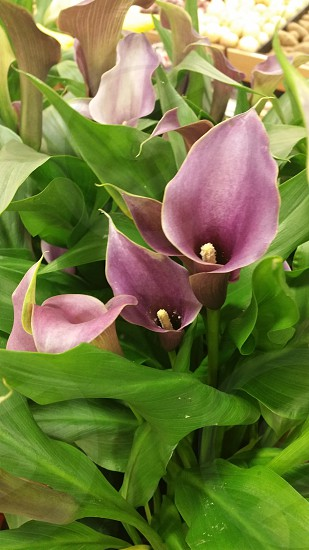 Purple Calla Lily spring bloom bulb photo