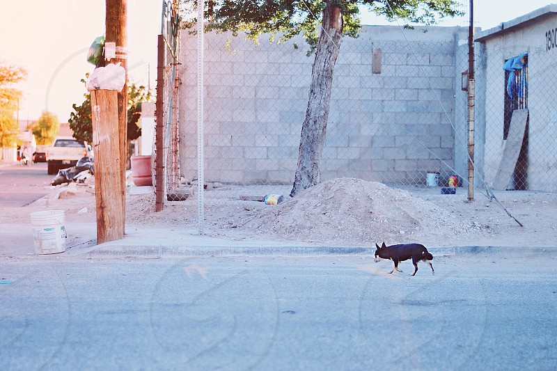 travel mexico chihuahua dog black dog street urban city mexicali stray dog photo