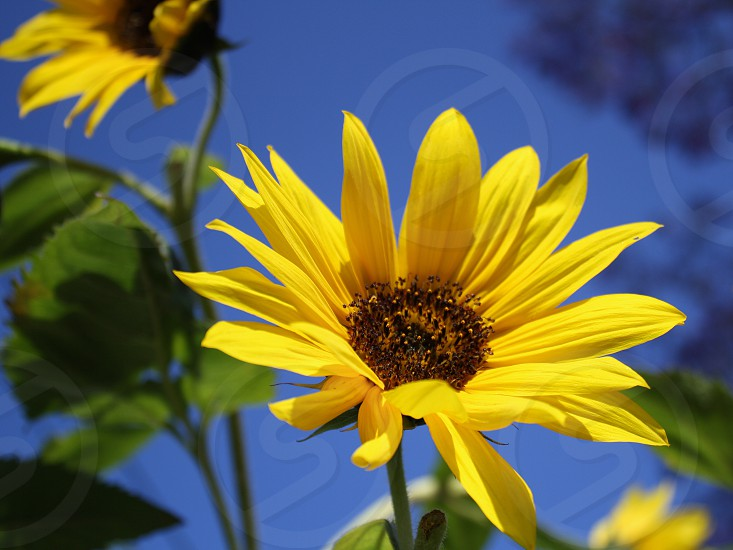 Yellow- black-eyed Susans grow wild against a blue sky. photo