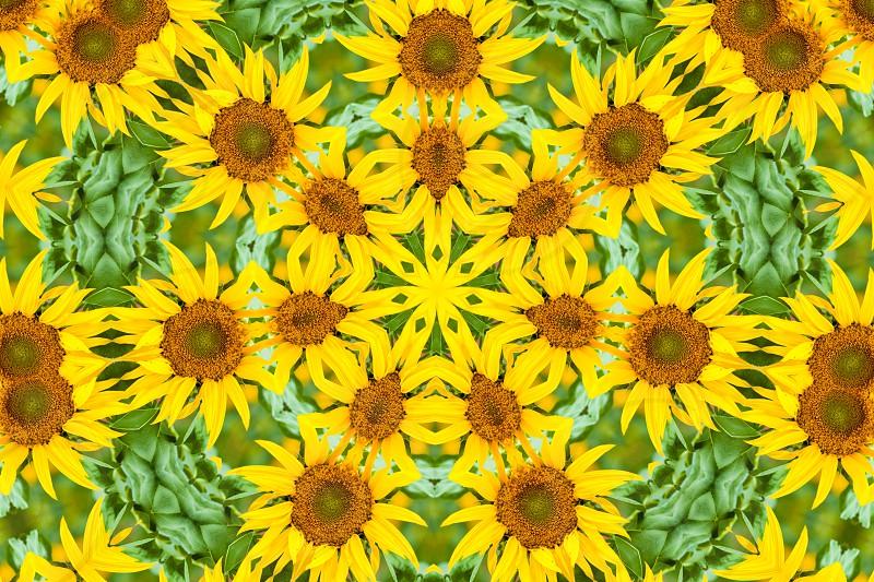 Kaleidoscopic altered image of sunflower Helianthus annuus resembles a mandala photo