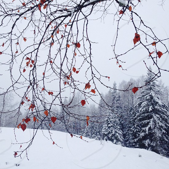 pin tree covered snow photo