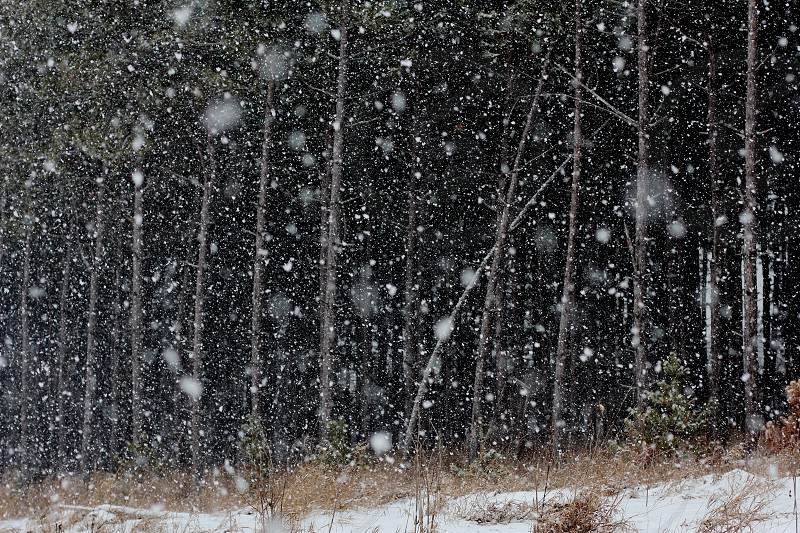 Heavy winter snow against the dark dense woods in the Midwest. photo