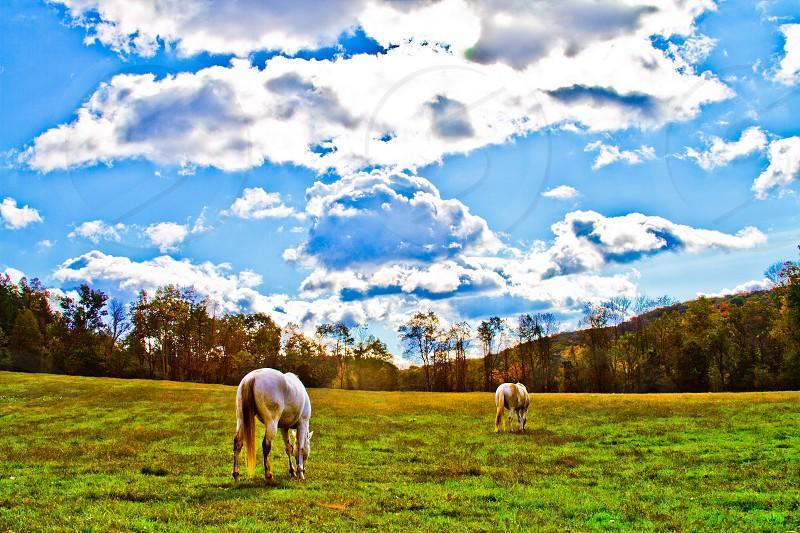 Two White Horses Grazing photo