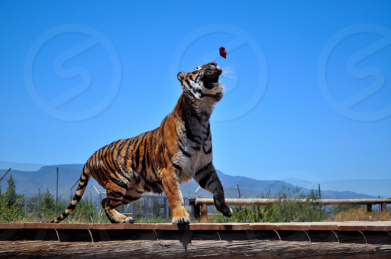Tiger Lunches  photo