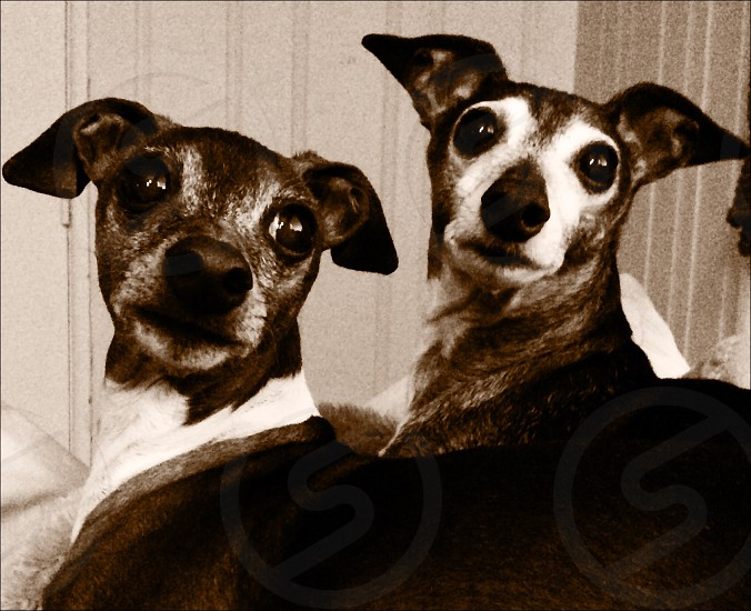 black and white short haired dogs photo