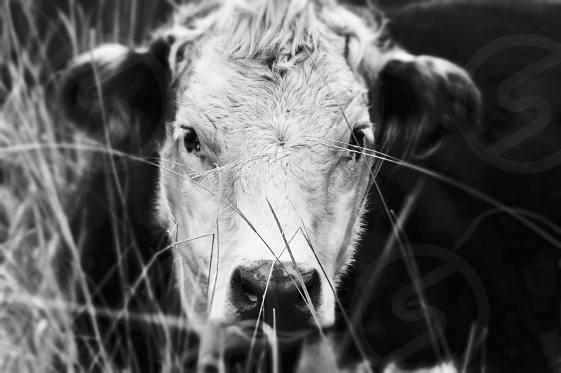 Cow Photography photo