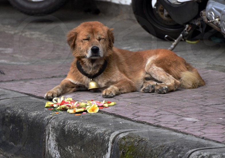 brown bali dog with large bell on collar and eyes closed lying on sidewalk near offering photo
