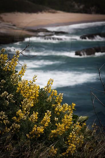 Bright yellow flowers overlooking the beach photo