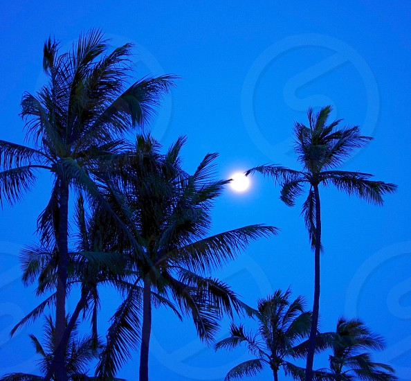 Palm Tree Fronds holding up the moon during sunset with deep blue sky on the Hawaiian island of Oahu.  photo