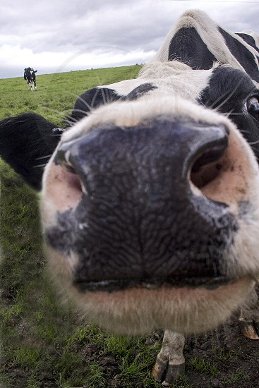 Extreme close-up of a curious cow. photo