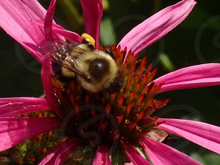 bee on red and pink flower photo
