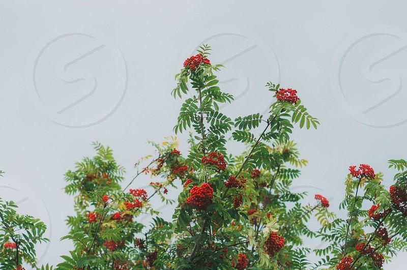 Rowan tree photo