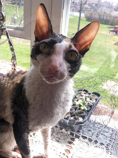 Cornish Rex cat ears photo