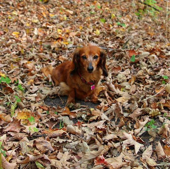 annie sitting in the woods being patient good dog dachshund dog wiener dog brown dog older dog white face nature walk sitting being good sit dog stay dog photo