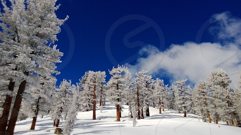 Snow covered trees and deep blue sky Lake Tahoe. photo