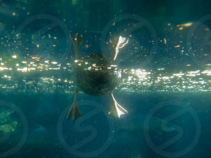Underwater view of a swimming duck's webbed feet with sparkling sunlight on the surface of the water photo