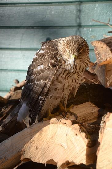 Eagle on a wood pile photo