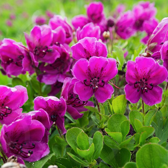 Beautiful flora of Kamchatka Peninsula: wild alpine purple flowers Rhododendron Camtschaticum in summer season. Eurasia Russian Far East Kamchatka Region. photo
