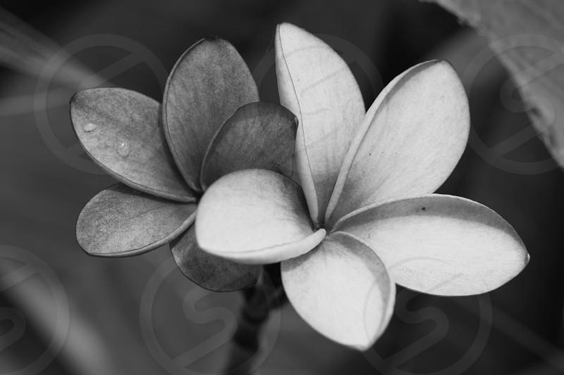 white plumeria photo