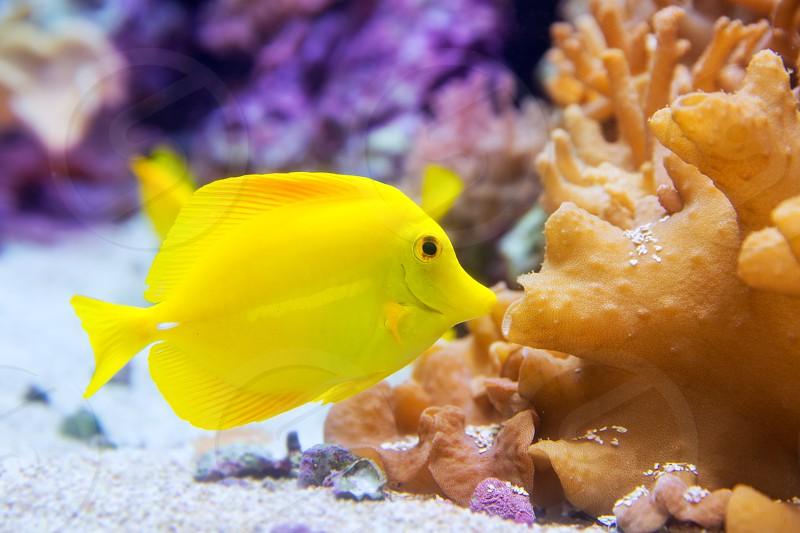 yellow tang fish Zebrasoma flavesenes on artificial reef photo