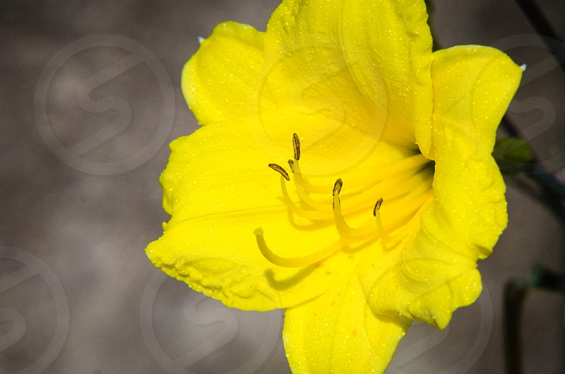 Flower Yellow photo