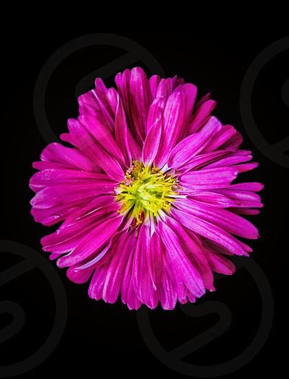 close up photography of pink and yellow petaled flower in bloom photo