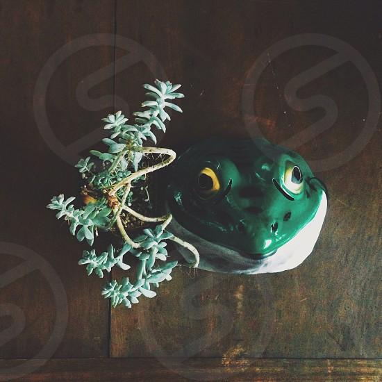 green sedum succulents beside green and white frog figurine photo