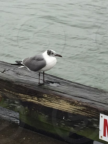 Seagull off the Texas City Dike photo