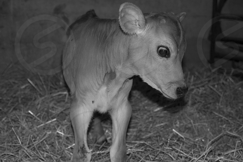 Baby bottle calf.. So sweet photo