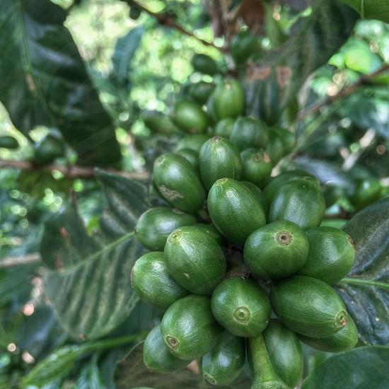Coffee. Coffee beans. Growth. photo