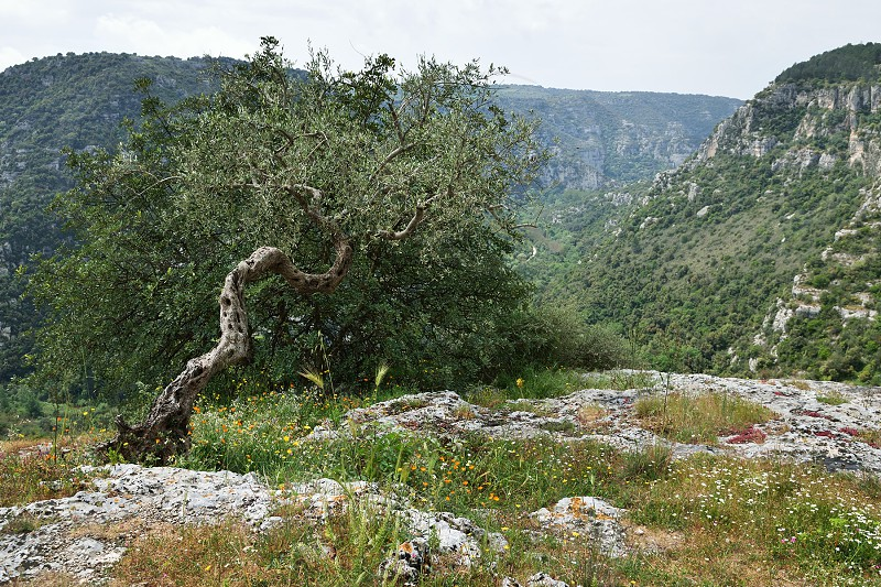 olive tree and view photo