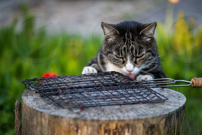 Domestic cat photo