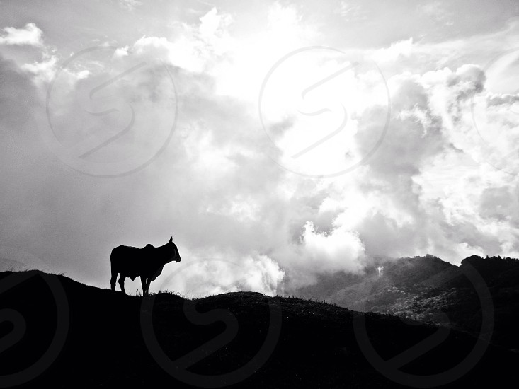 Cow in Costa Rica photo