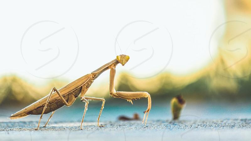 brown praying mantis on pavement photo