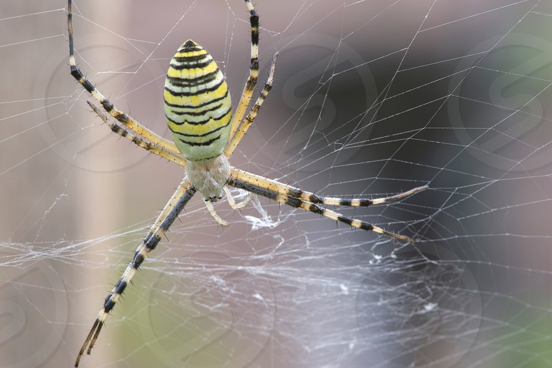 Spider in a garden. Grenn and yellow lines spider photo