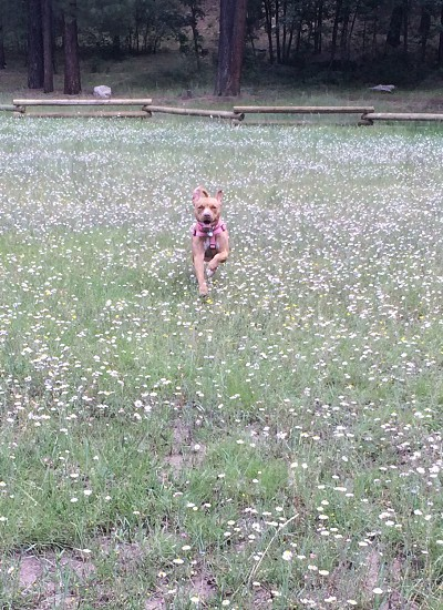 Puppy running through a field of flowers. photo