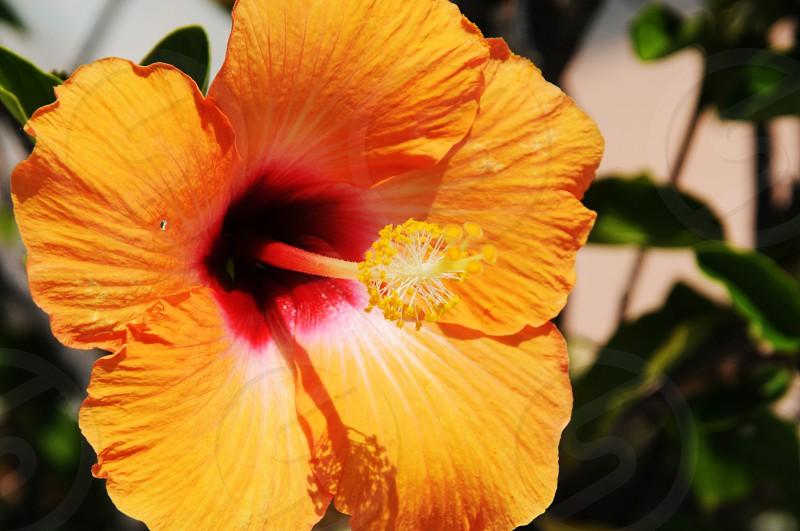 Orange hibiscus flower photo