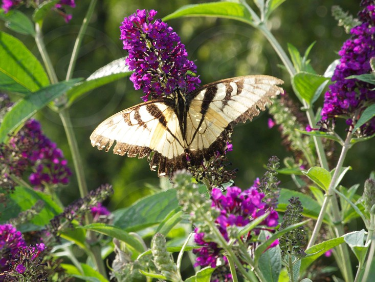 white and black swallowtail butterfly on purple flower photo