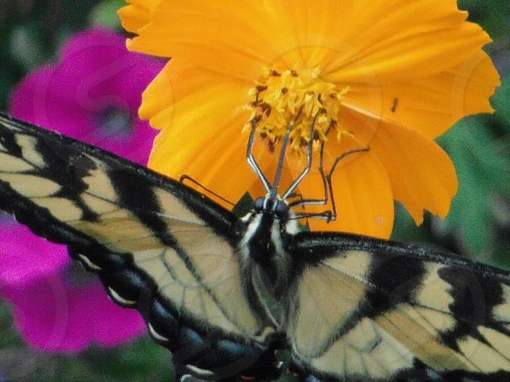 Virginia swallowtail in flower garden. photo