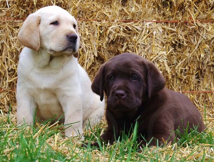 6 week old Labrador puppies in front of a hay bale photo