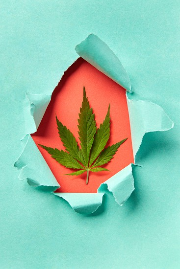 Decorative craft frame from green marijuana leaf inside torn turquoise paper on a coral background copy space. Greeting card. Top view. photo