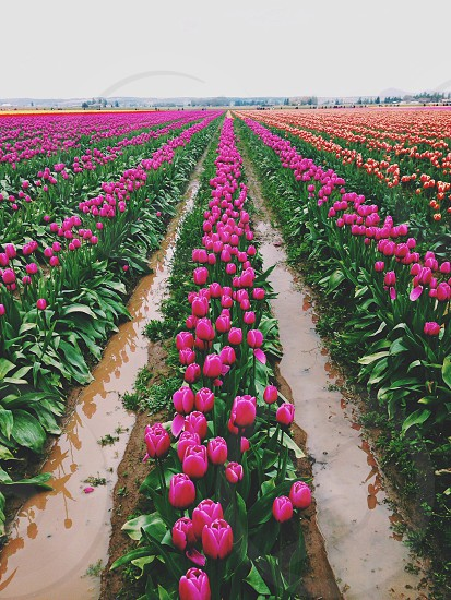 pink tulips farm photo