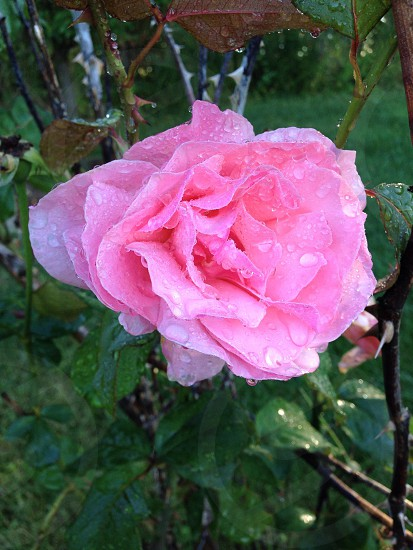 Rose nature flower New Jersey macro photo