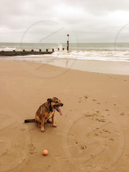 Playing fetch on the beach sand waves timber groynes Alsatian with ball photo