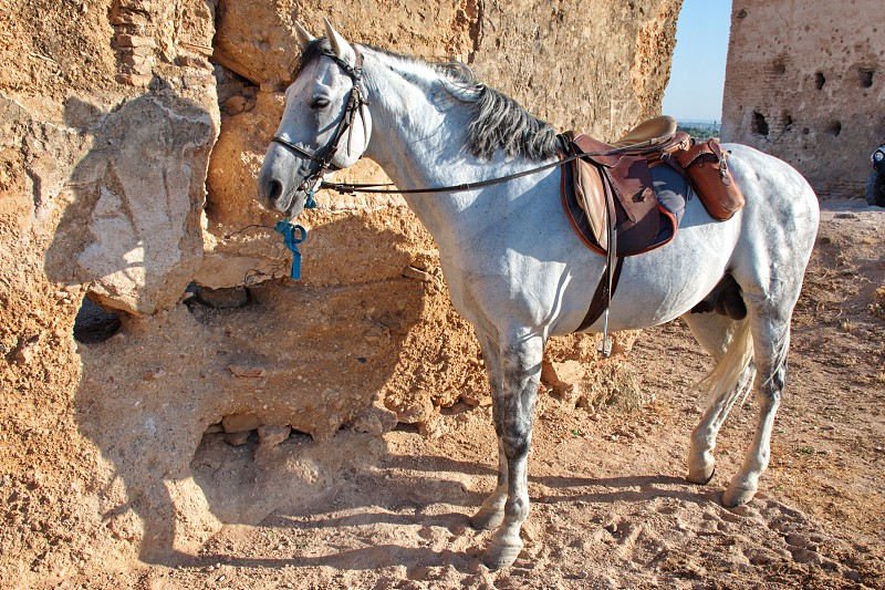 Portrait of Arabic stallion in the desert ready for riding photo