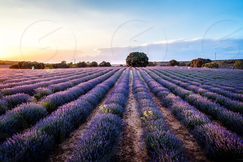 Beautiful image of lavender fields. Summer sunset landscape photo
