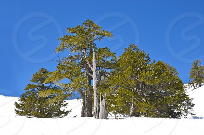 Green Tree in a snowy terrain photo