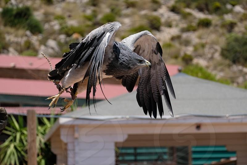 Chilean Blue Eagle at Mount Calamorro photo